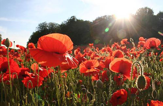 Poppy Field -  Courtesy Google Images